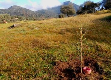 plantones_olivo3