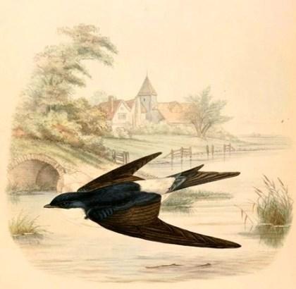 Delichon_urbicum_adult_1894