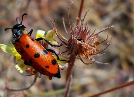 escarabajo meloideo