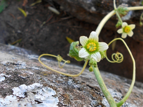 Bryonia dioica 2