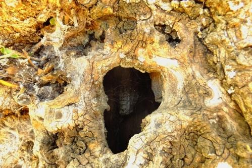 olivo tronco1