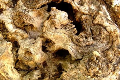 olivo tronco3