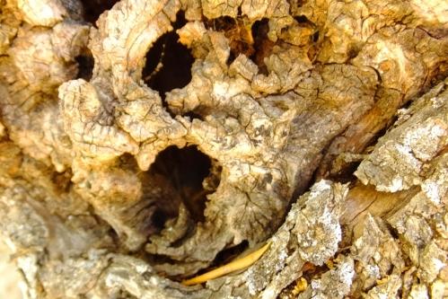 olivo tronco4